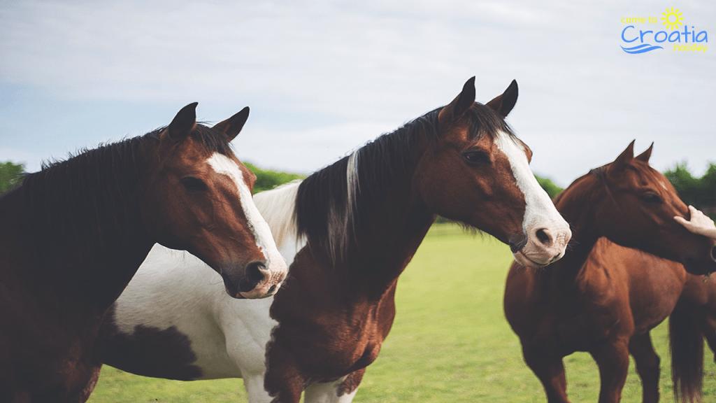 Luxury Horses Avaliable for Riding in Croatia